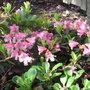 Rhododendron_campylogynum_patricia_2009
