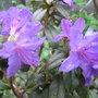 Rhododendron_josefa_blau_2009