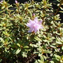 "rhododendron ""arends favorite"""