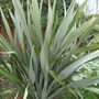 New Zealand Flax (Phormium tenax (New Zealand flax))