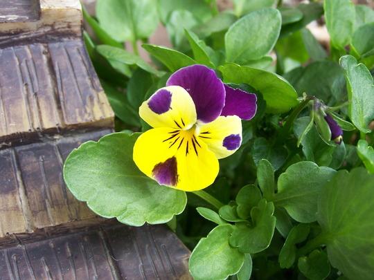 Pansy (Viola hispida (Rouen Pansy))