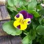 Viola hispida