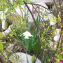 relax me (Narcissus cantabricus (White Hoop-petticoat Daffodil))
