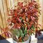 new plant (dicksonia antarctica)