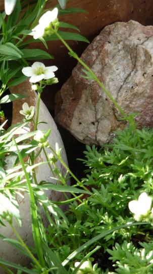 A garden flower photo (Saxifraga aizoides (Evergreen Saxifrage))