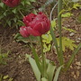 More tulips. (Tulips)