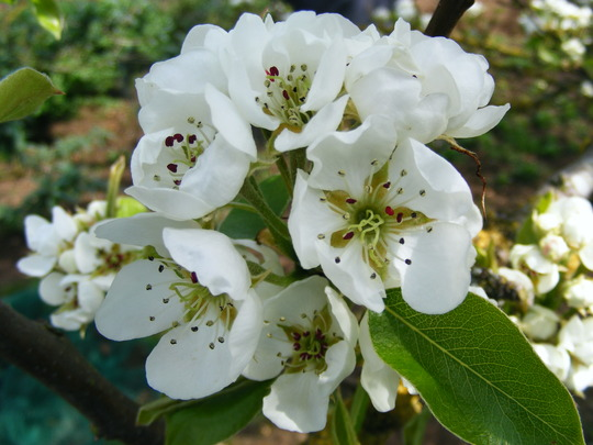 Conference Pear Blossom