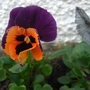 Pansy and fairy