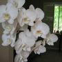 Phalenopsis...Bloom Boom
