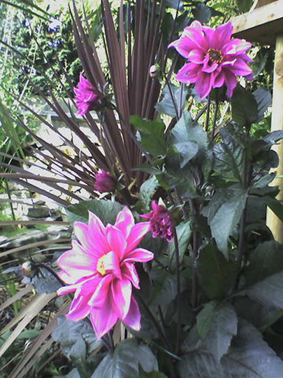 Dahlia Fascination and Cordyline