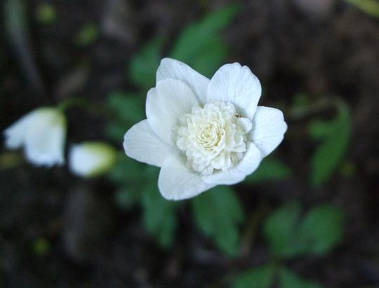 Anemone nemorosa 'Vestal' (Anemone nemorosa 'Vestal')