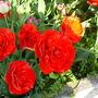 morecambe tulips
