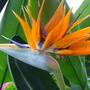 Bird_of_Paradise_Plant.jpg