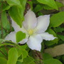 Mystery Clematis no longer!  She&#x27;s C. Gillian Blades (Clematis &quot;Gillian Blades&quot;)