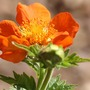 Geum_coccineum_queen_of_orange_