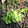 Nicotiana alata (Tobacco plant)