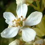 Choysia flowers