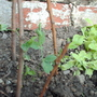 sweet peas - cupani (Lathyrus odoratus (Old-Fashioned Sweet Pea))