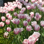 striped white and pink tulips