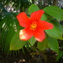 Hibiscus bojeranus - A unusual species of Hibiscus (Hibiscus bojeranus - A unusual species of Hibiscus)