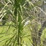 CORDYLINE PALM (AUSTRALIS)