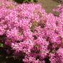 Blooming azalea.