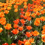 Close up of orange and red tulips.