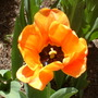 Close-up of one orange and red tulip.