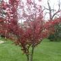 Red-leaved tree, it looked like it was ablaze in the sun!