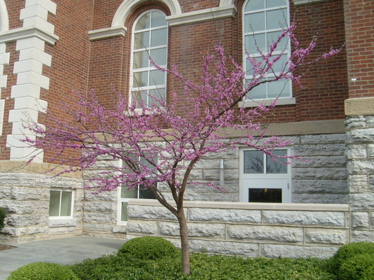 My absolutely favorite Spring tree - it does flower in Houston, but in February/March!
