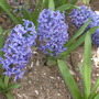 I think these are grape hyacinths.