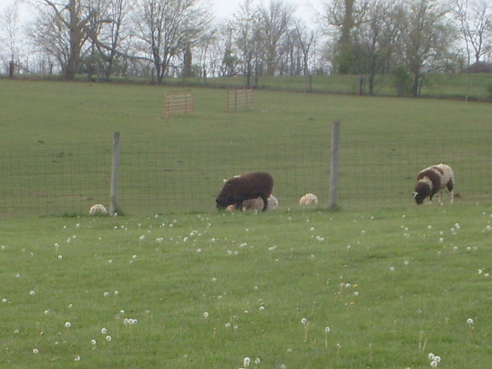 Sheep in the Kentucky countryside.