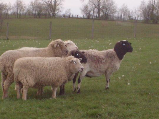 The sheep Tara herds.