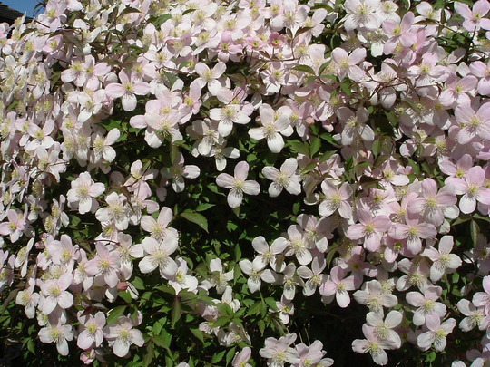 clematis montana rubens grows on you. Black Bedroom Furniture Sets. Home Design Ideas