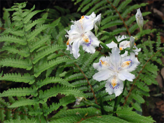 Fringed iris (or Crested iris, which is commonly used ?) (Dryopteris nipponensis Koidz.)