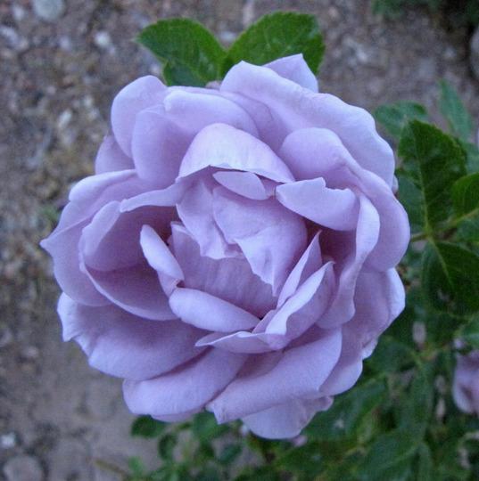 "Rosa ""Simplicity"""
