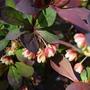 Barberry (Berberis stenophylla)