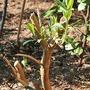 Brutal March Prune (Buddleja davidii (Butterfly bush))