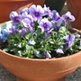 Purple_viola_april_09