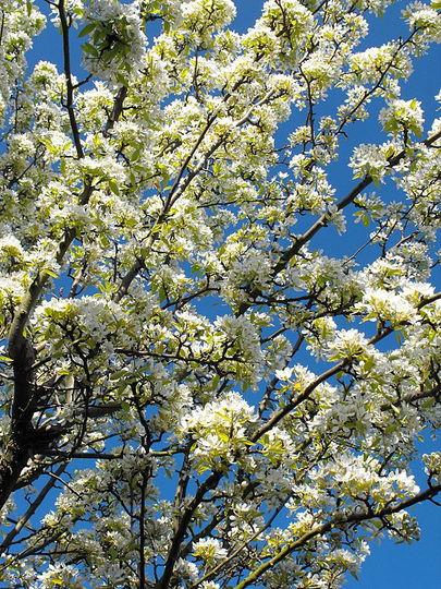 Pretty Pear Tree Blossom