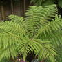 march_017.jpg (Dicksonia antarctica (Soft tree fern))