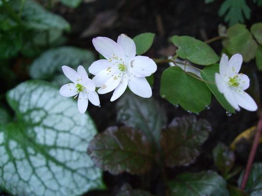Anemonella thalictroides (Anemonella thalictroides (Wood Anemone))