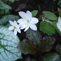 Anemonella_thalictroides
