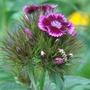 dianthus barbatus 001 (Dianthus barbatus (Sweet William))