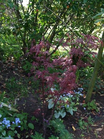 Acer palmatum 'Bloodgood' (Acer palmatum 'Bloodgood')