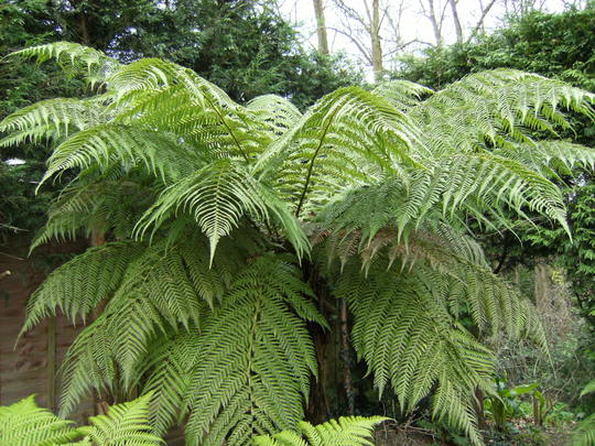 Large Tree Fern (Dicksonia antarctica (Soft tree fern))