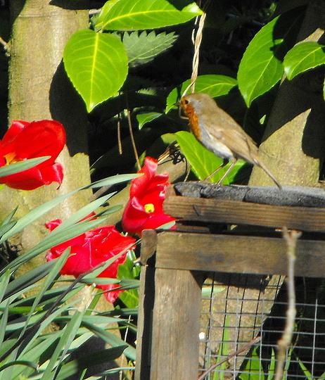 Mr Robin Admiring My Tulips :)