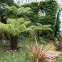 Tree ferns (Dicksonia antarctica (Soft tree fern))