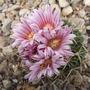 pink cacti flowers