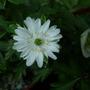 Anemone Nemerosa Bracteata